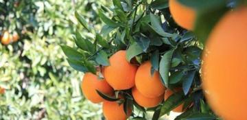Portakal dişlerin dostudur