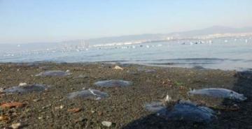 İzmit Körfezi'nde denizanası istilası