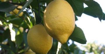 Mersin'de limon dalda kaldı