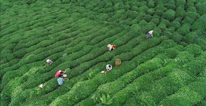 Çay ihracatının lideri Rize